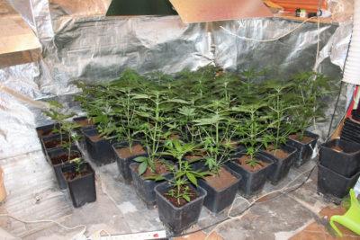 Med zaseženimi drogami so bile tudi sadike konoplje