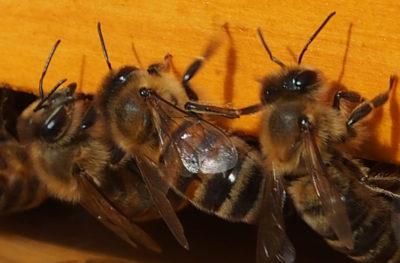 Kranjska čebela. Foto: Wikimedia Commons