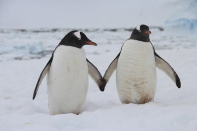 Pingvini niso najbolj romantična bitja (foto: iStock).