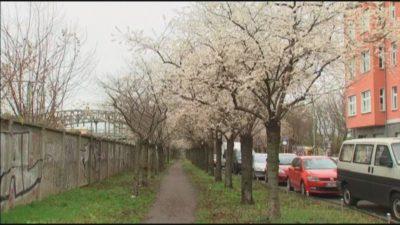 (VIDEO) Zima je prišla češnje cvetijo 1