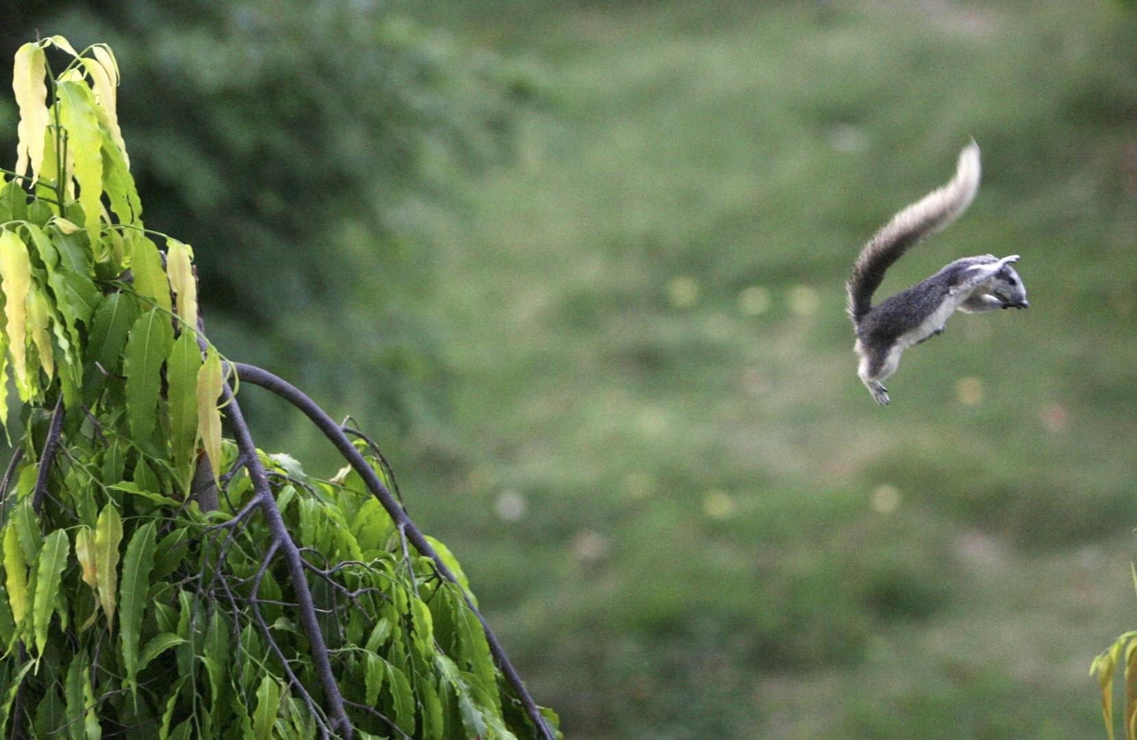 Siva veverica ni tako nedolžna kot izgleda. V Veliki Britaniji je že povsem izpodrinila avtohtono vrsto veverice, hkrati pa uničuje gnezda in mladiče domačih vrst ptic. Poleg tega uničuje električne napeljave in dela veliko škodo na vrtovih in sadovnjakih. (foto: epa)