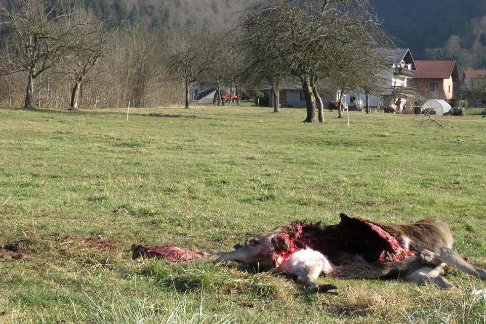 Dokaz hiš v ozadju pove, kako blizu se dogaja plenjenje volkov (foto: FB)
